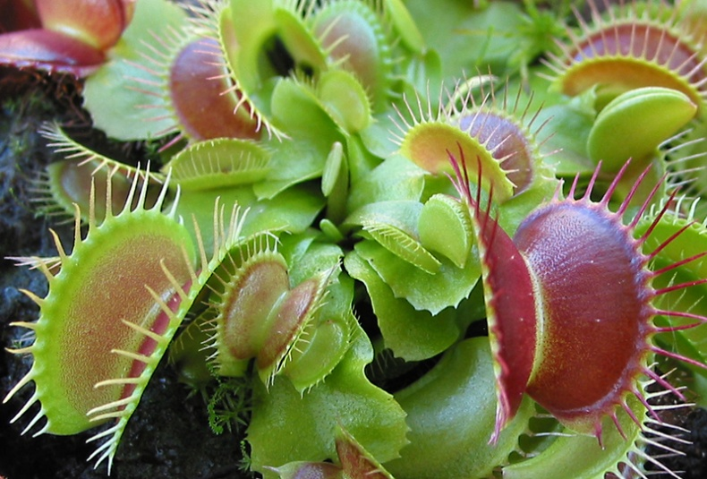 Venus Flytrap by Jason