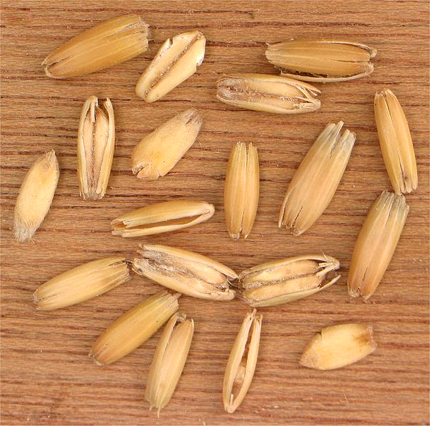 Oat grains in their husks by Wikimedia Commons