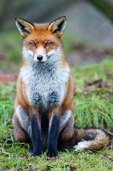 Red Fox by Wikimedia Commons