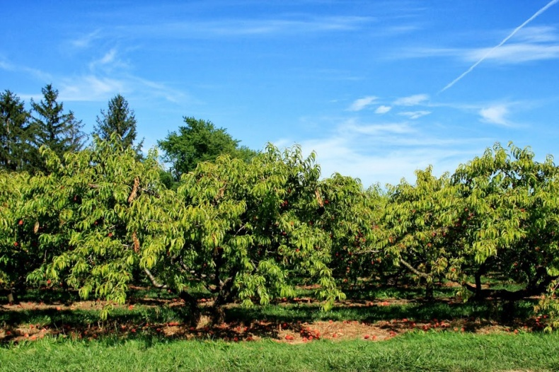 Beautiful Orchard of Cherry Avenue Farms With Blue Sky