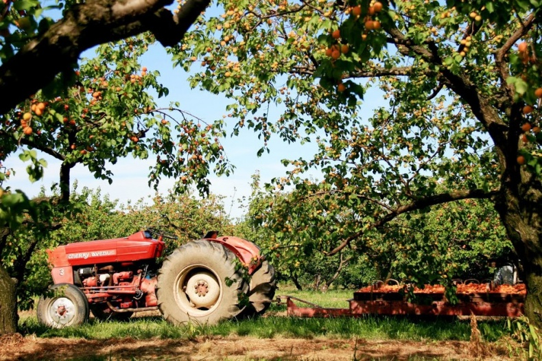 Cherry Avenue Farms Tractor in The Orchards