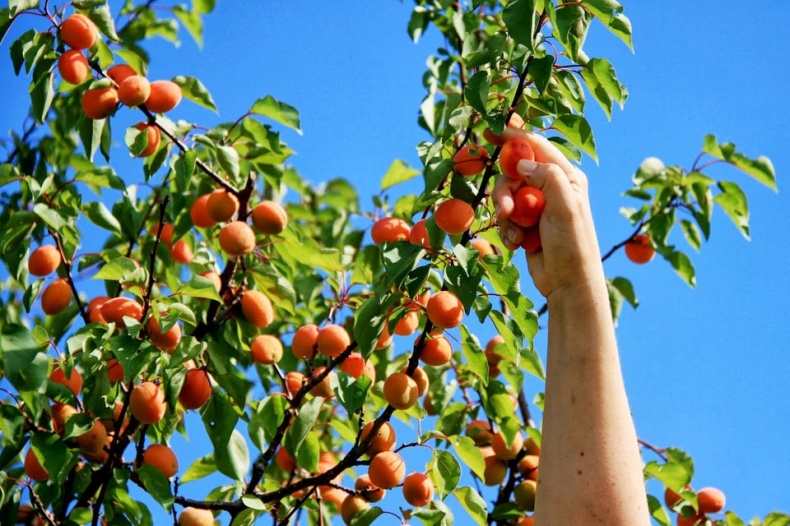 Picking Apricots on Trees